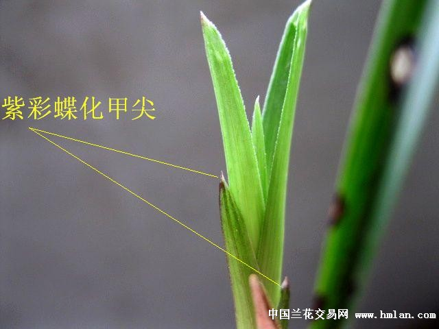 下山龙根春兰/极品紫彩蝶化叶.甲尖[好赌叶蝶新品]