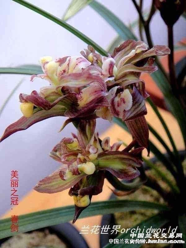 花朵较大,为多瓣多舌牡丹奇花
