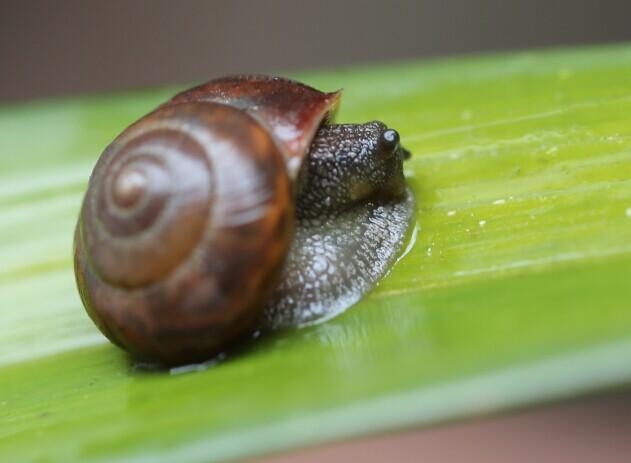 在寒冷地区生活的蜗牛会冬眠