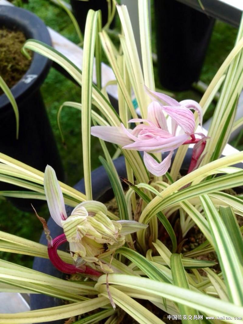 一葶花开1-2朵,花瓣多达10多瓣,柳叶型,如同菊花,瓣中有红筋和淡绿筋图片
